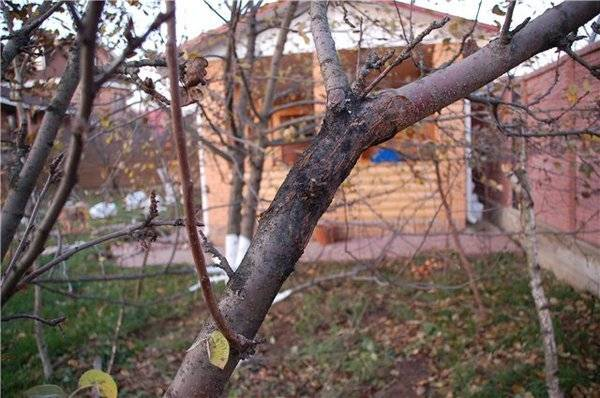 Лишайник на яблоне: как избавиться от наростов и что делать для борбы с ним