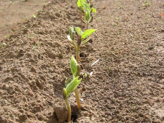 Посадка фасоли в 2020 году: сроки, выращивание и уход