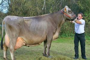 Костромская порода коров | животноводство