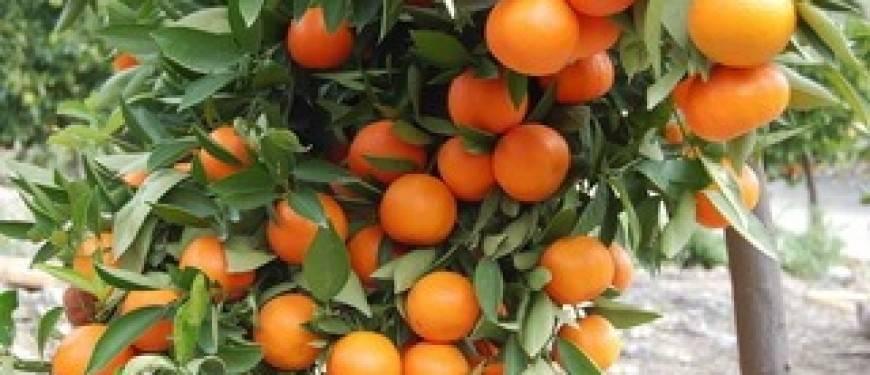 Выращивание грейпфрута из косточки