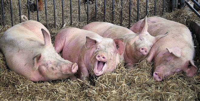 Способы определения веса свиньи