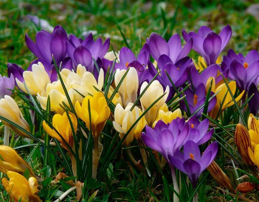 Крокусы: фото, выращивание, посадка и уход в открытом грунте