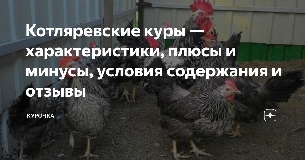 Котляревская порода кур – описание, фото, отзывы
