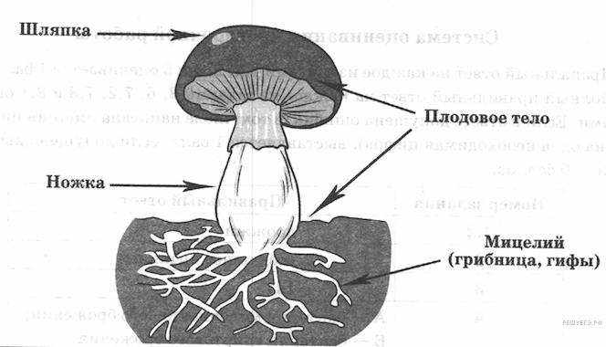 Плодовое тело гриба: что это такое, из чего состоит, строение