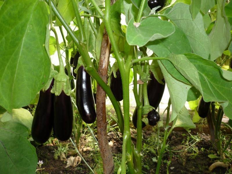 Универсал 6 баклажан: описание, выращивание, уход, фото