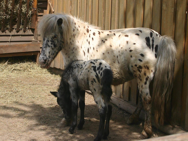 4 основные породы мини-лошадей: описания и особенности