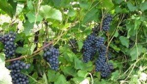 Виноград московский белый: что нужно знать о нем, описание сорта, отзывы