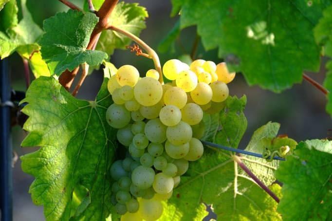 Как начинающему дачнику посадить виноград в сибири?