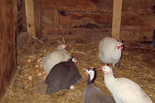 Сколько времени цесарка сидит на яйцах