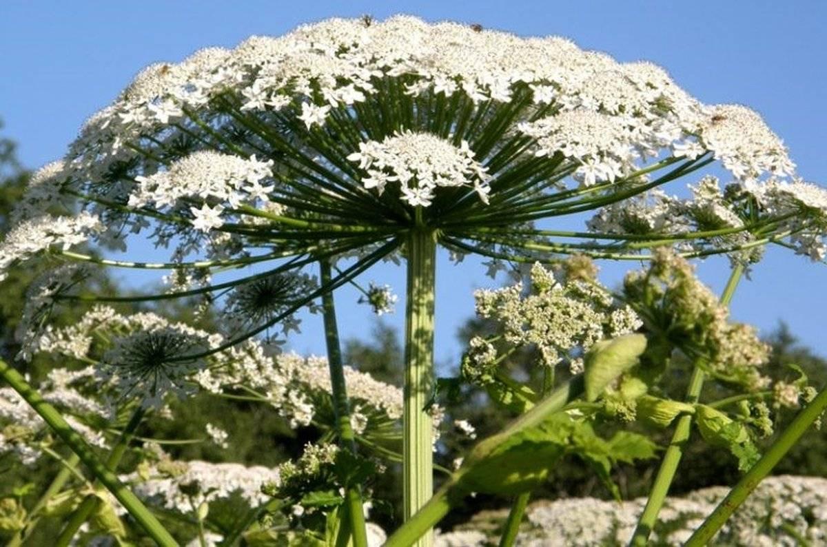 Растение борщевик: виды, как выглядит, чем опасен, как бороться
