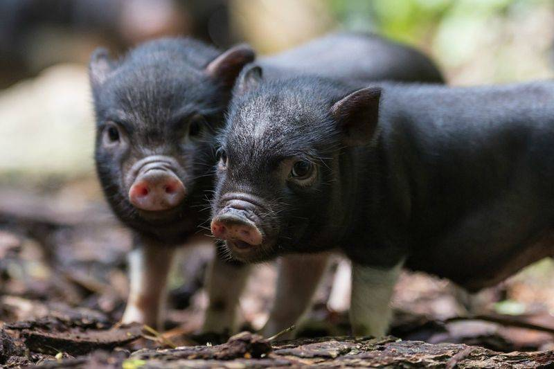 Разделка туши свинины (поросенка): схема с фото описанием, как разделать полутушу, четверть, ногу