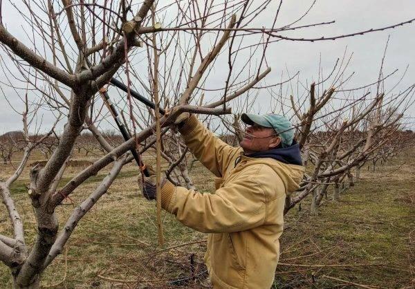 Обрезка плодовых деревьев осенью - молодых и старых деревьев, схема и инструкция