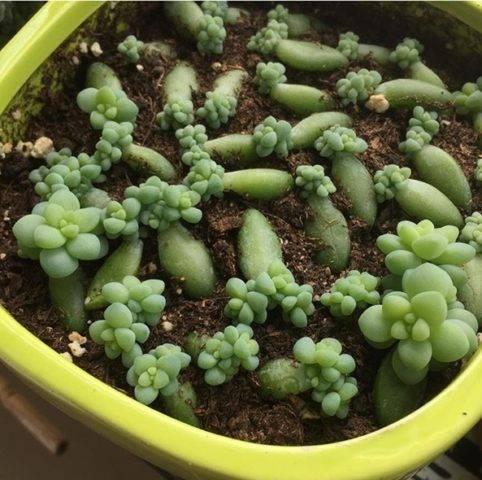 Очиток пурпурный: описание, внешний вид этого седума на фото, лечебные свойства травы, особенности размножения растения и ухода за нимдача эксперт