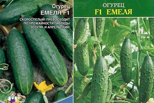 Огурец емеля f1: выращивание в теплице, характеристика сорта и описание с фото, отзывы