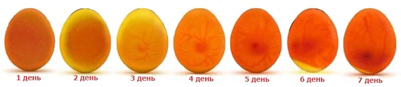 Овоскопирование утиных яиц по дням: фото, видео • поэтапно