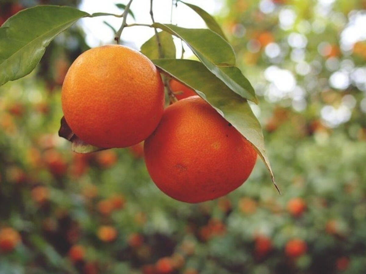 Польза и вред апельсина для организма человека