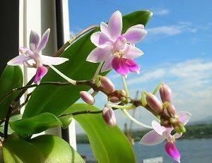 Выращивание орхидеи сорта граз: отзывы, фото, размножение