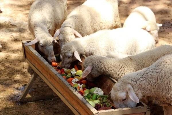 Разведение овец в домашних условиях   cельхозпортал