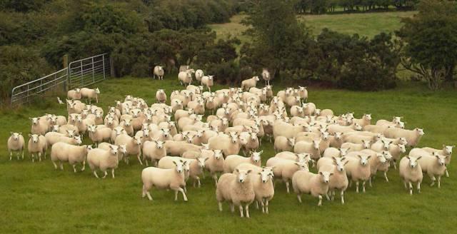 Обзор породы овец тексель: их описание, фото и видео обзор породы овец тексель: их описание, фото и видео