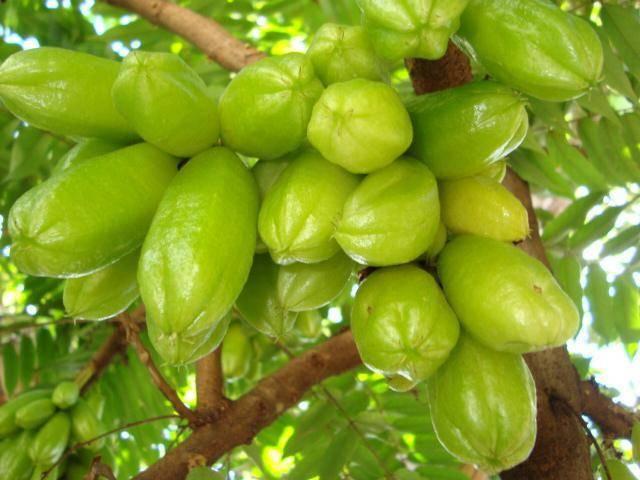 Огуречное дерево: особенности ухода, применение, свойства