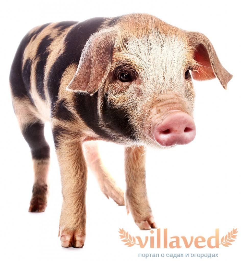 ᐉ миргородская порода свиней: описание и характеристика - zooon.ru