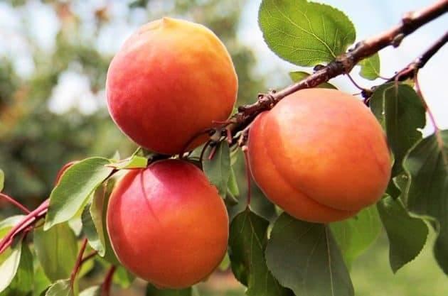 Описание сорта абрикоса персиковый – фото и особенности выращивания
