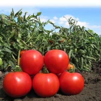 Лучшие, сладкие и урожайные сорта крупноплодных томатов – дачные дела