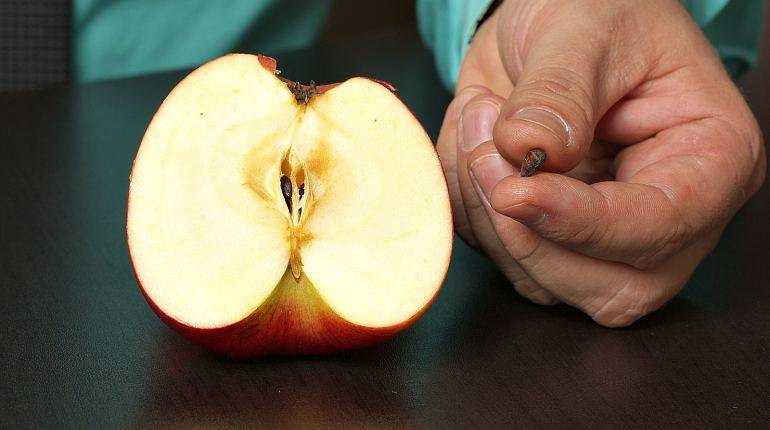 Семечки в яблоках — полезные и вредные свойства