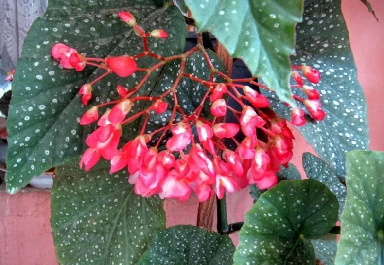 Бегония коралловая: фото, рекомендации по уходу за комнатным растением в домашних условиях, особенности его размножения и обрезки, а также причины, почему не цветет русский фермер
