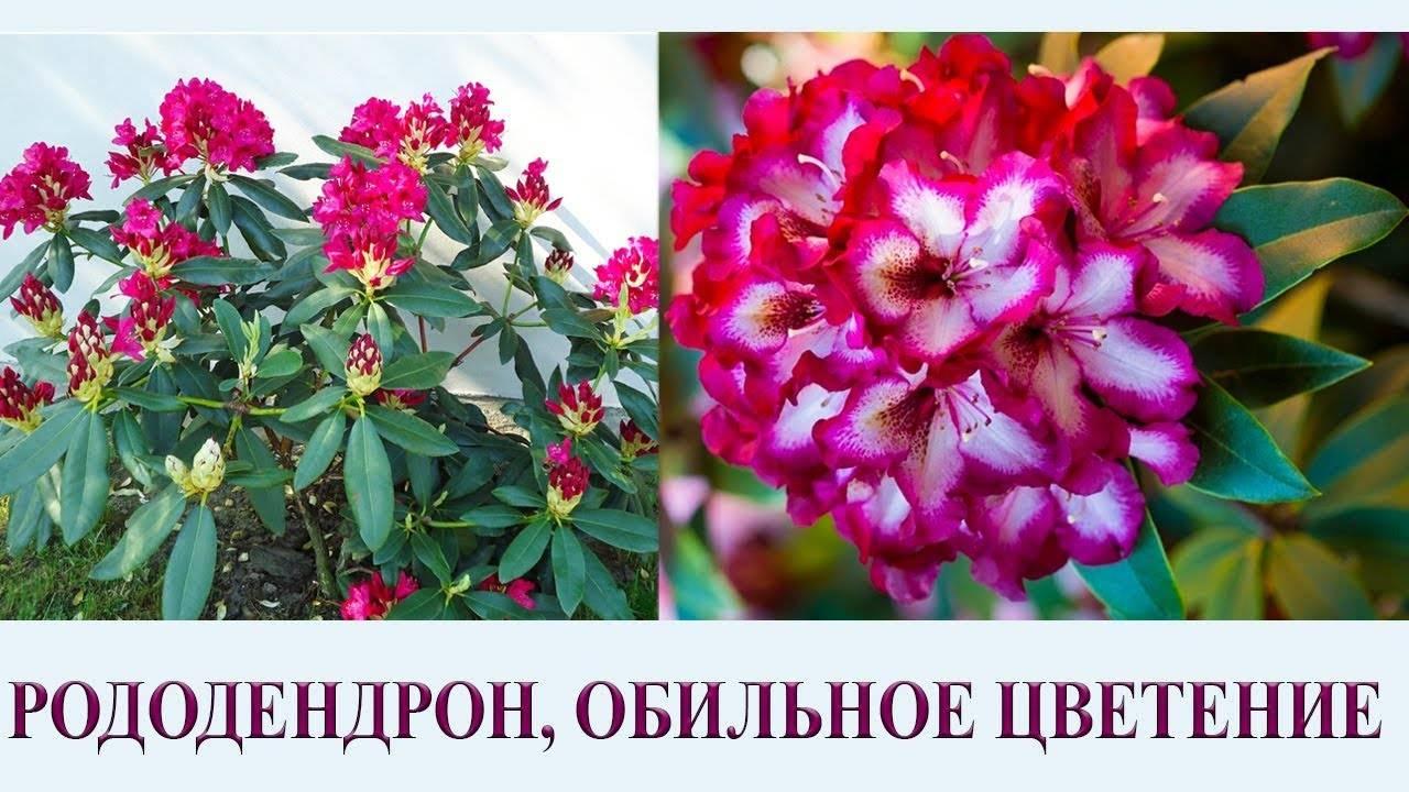 Размножение рододендронов. черенками, отводками, семенами. фото — ботаничка.ru