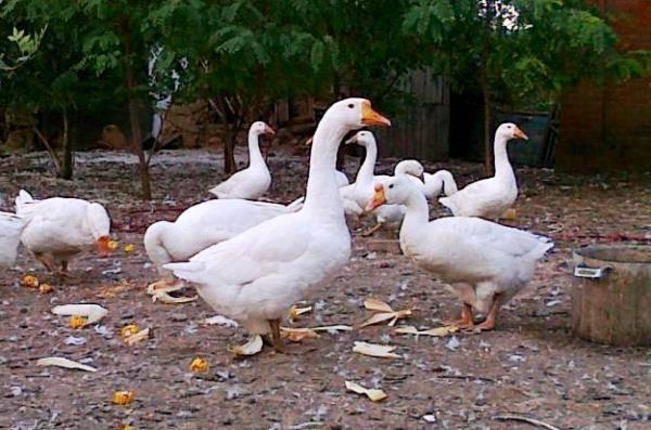 Выращивание и разведения гусей породы линда в домашних условиях