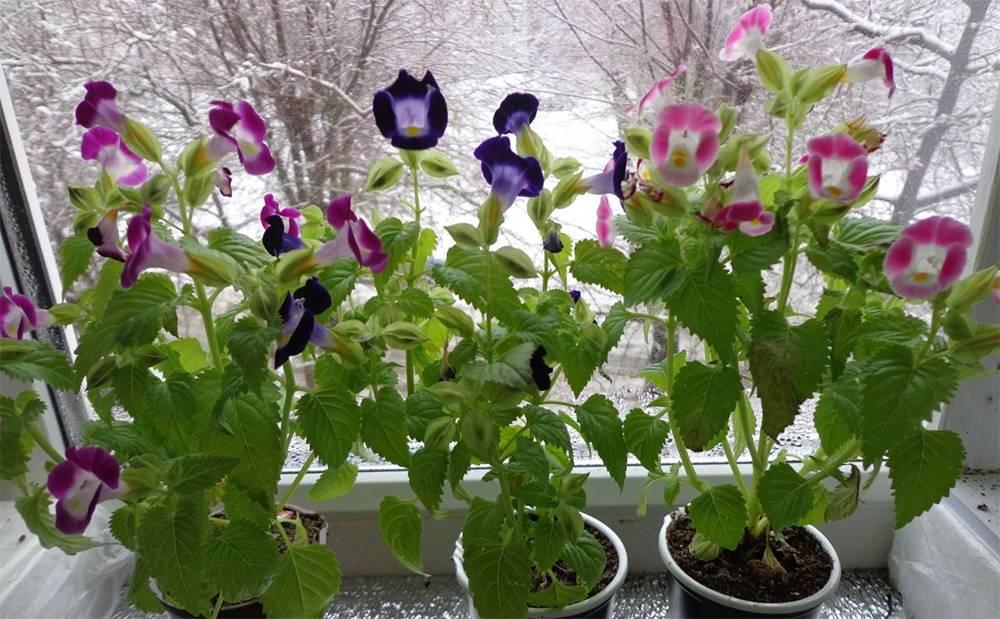 Торения: выращивание из семян в домашних условиях, высадка в открытый грунт