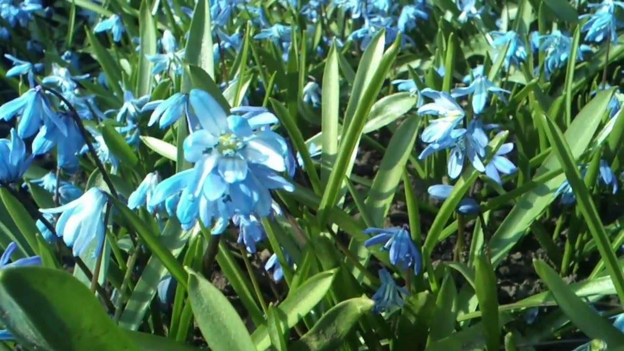 Цветок сцилла, она же пролеска, описание