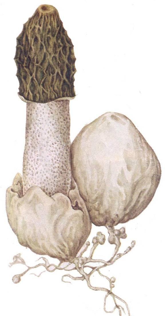 Лечебные свойства и описание гриба веселка (+16 фото)