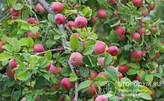 Яблоня уэлси, описание, фото, отзывы, посадка