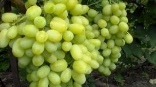 """Виноград """"лора"""": описание сорта, фото, отзывы"""