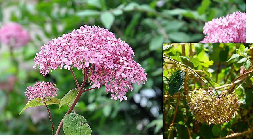 Гортензия анабель древовидная: фото и описание, посадка и уход (зимостойкость и обрезка) за взрослым растением