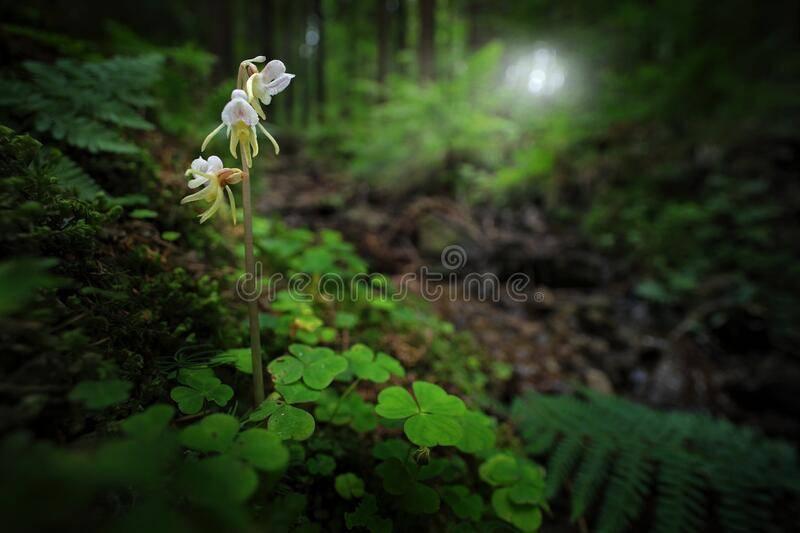 Орхидея пелорик: фото и подробное описание растений, особенности цветения, пересадки, размножения и другие тонкости ухода в домашних условиях