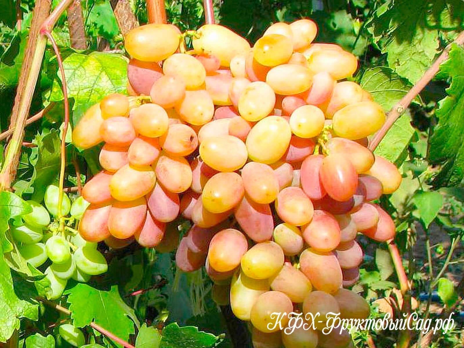 Виноград «виктор»: описание сорта, фото, отзывы