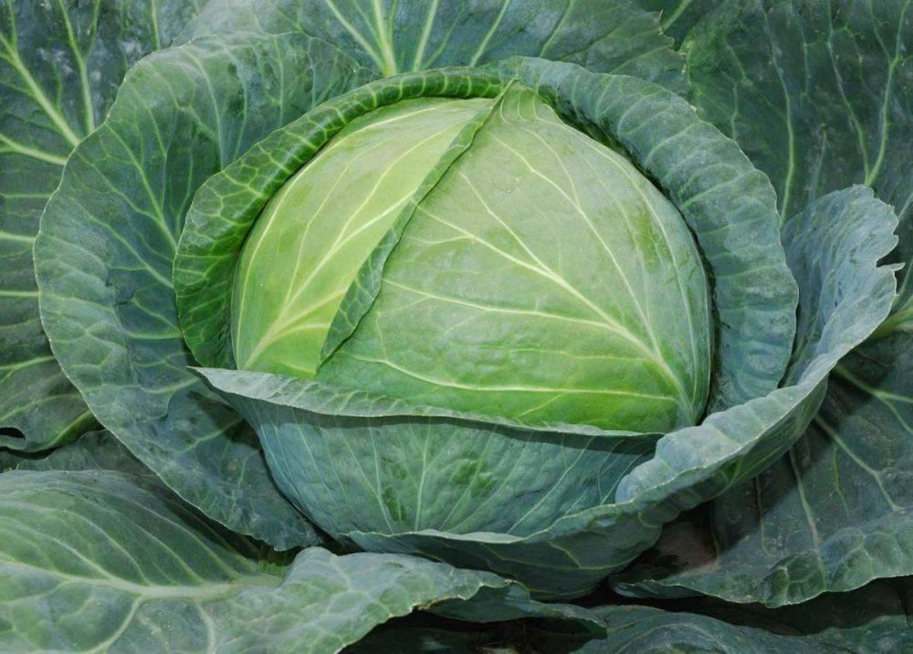 Капуста белоснежка f1 цветная: характеристика и описание сорта, фото, посадка семян, отзывы покупателей и садоводов