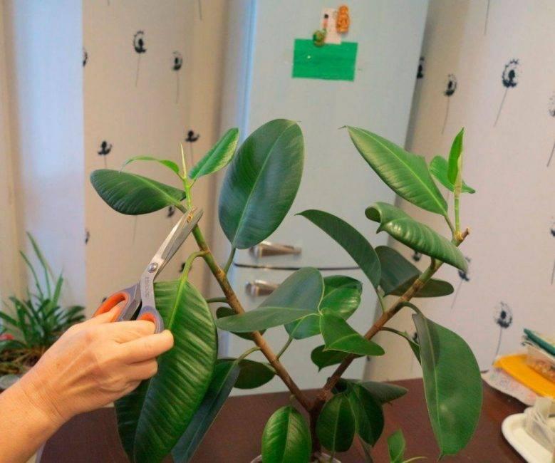 Уход за лировидным фикусом в домашних условиях