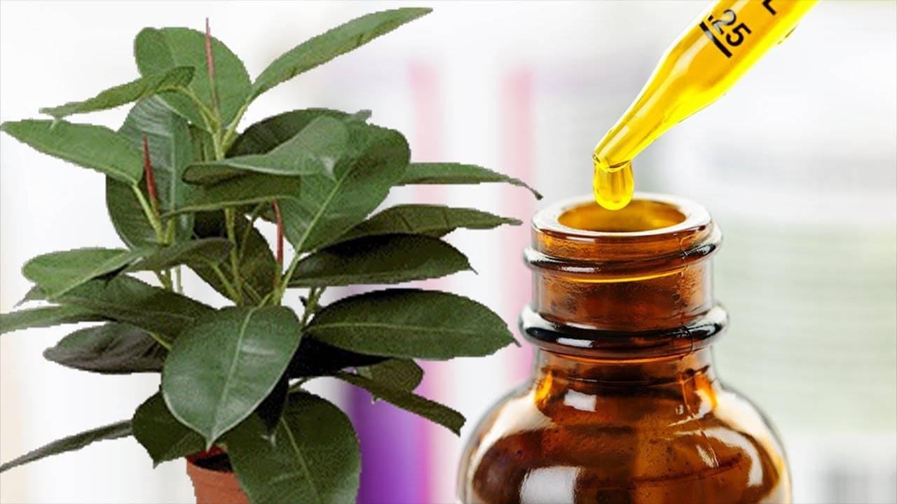 Полив и подкормка касторовым маслом комнатных растений, цветов, применение, рецепт