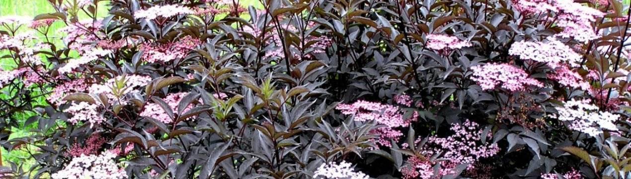 Бузина чёрная блэк бьюти (sambucus nigra black beauty) или герда: описание и фото, посадка и уход за растением