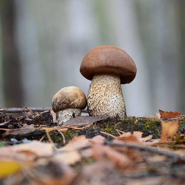 Гриб подберезовик: фото, описание, свойства грибов рода лекцинум, симбиоз с корнями высших растений
