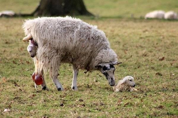 Суягность как определить и сколько ходит овца беременная?
