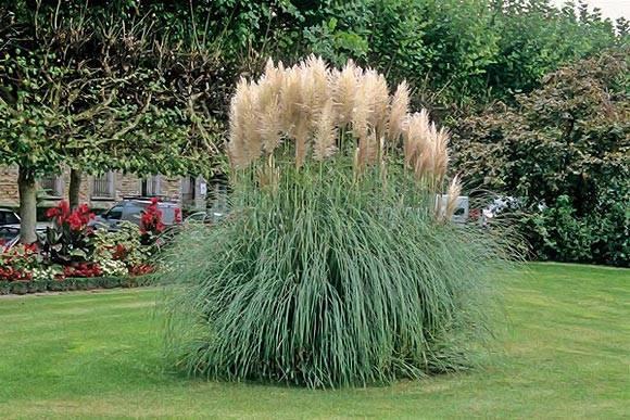 Кортадерия или пампасная трава - посадка и уход в открытом грунте, размножение и сорта