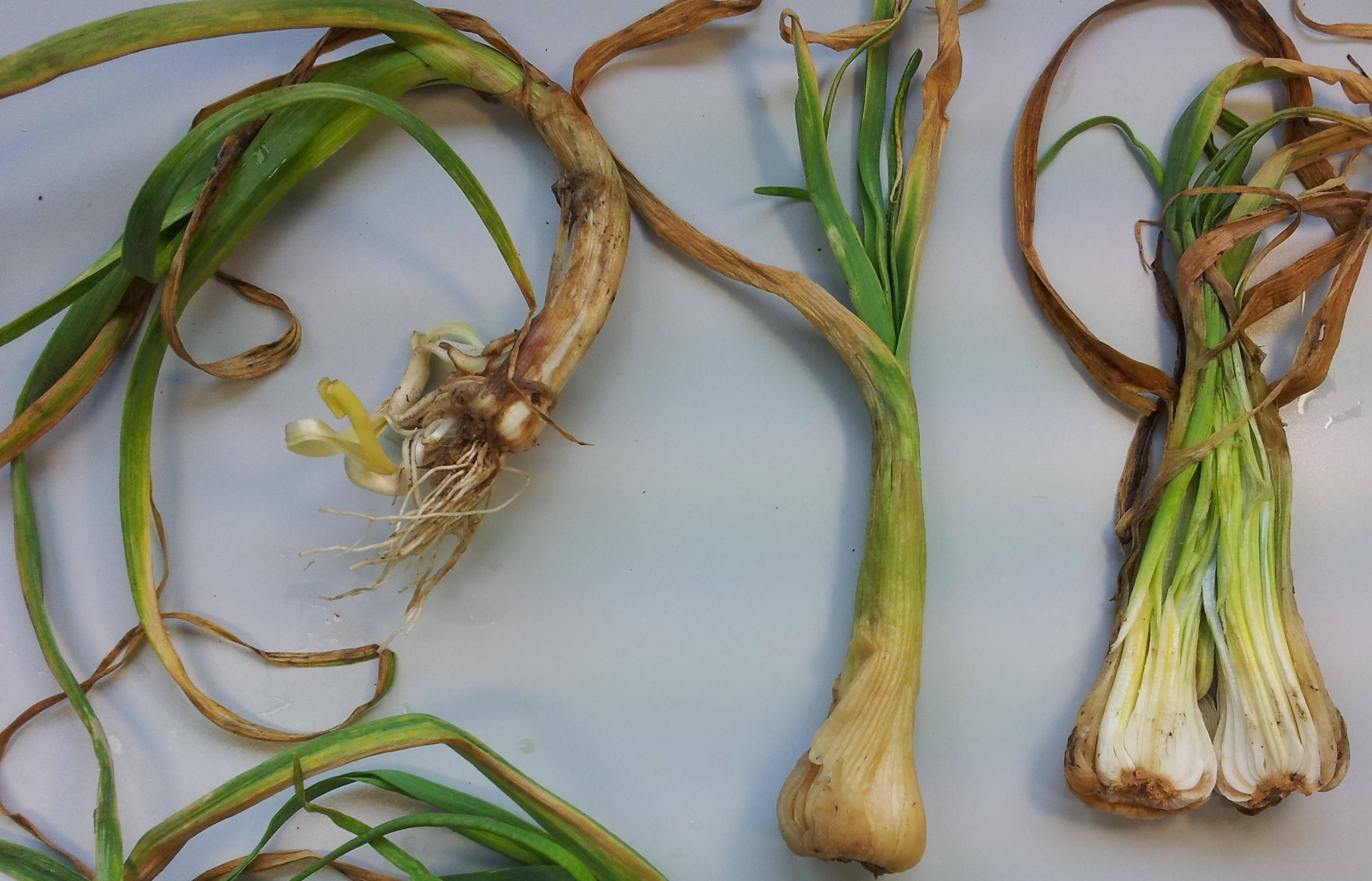 Нематода: разновидности, внешние признаки поражения растений, меры борьбы и способы профилактики