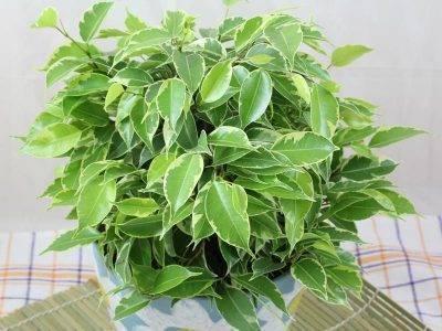 Особенности выращивания карликового фикуса кинки