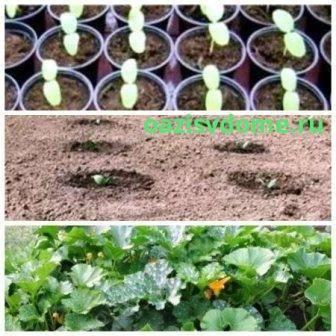 Правила выращивания рассады кабачков