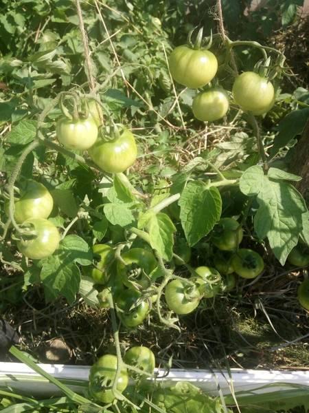Хороший урожай при минимальных усилиях — томат непас 2 непасынкующийся малиновый: описание сорта